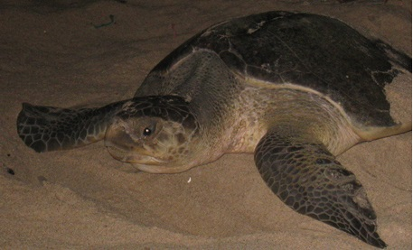 Leatherback turtle Ada